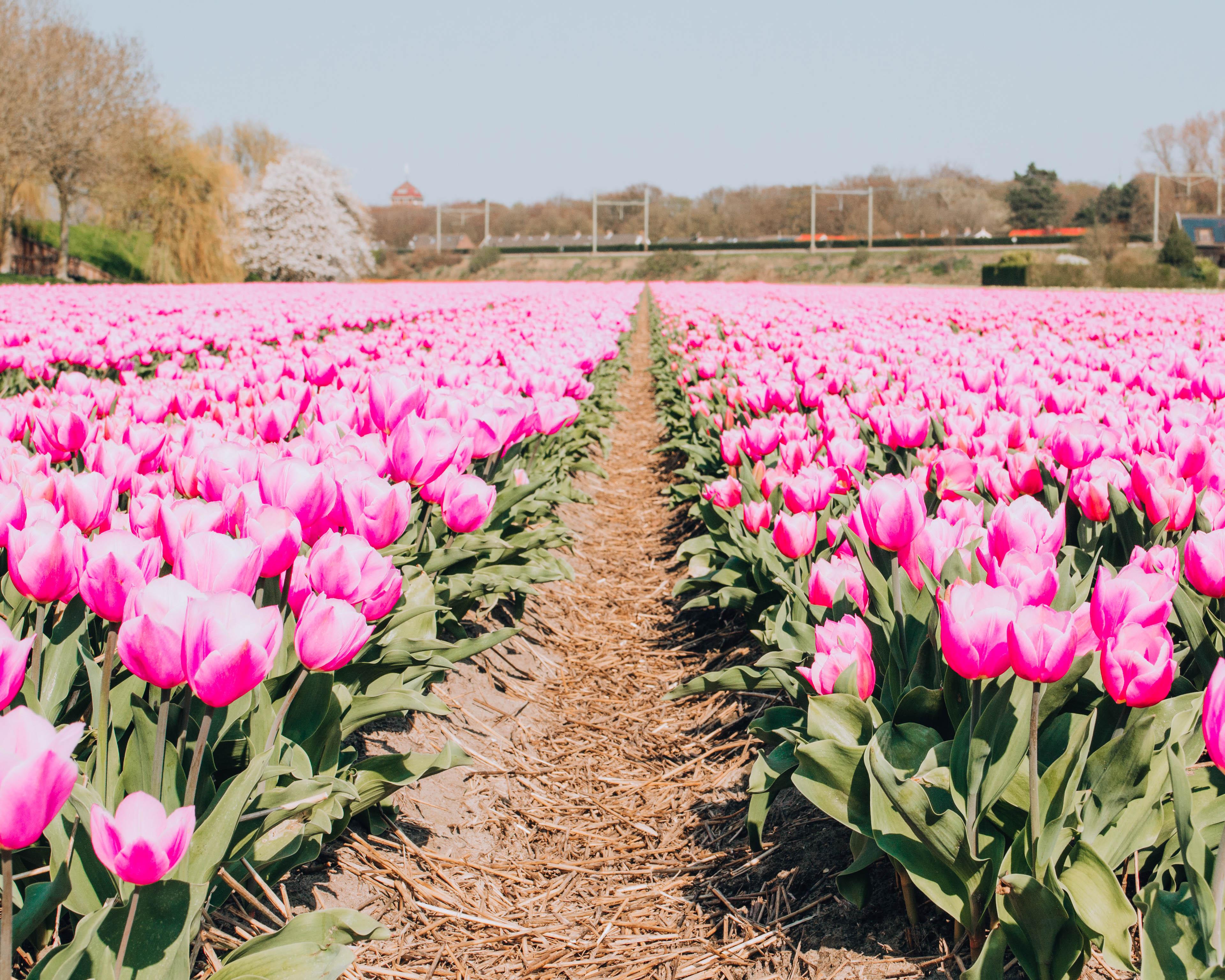Dove vedere i campi di tulipani in Olanda