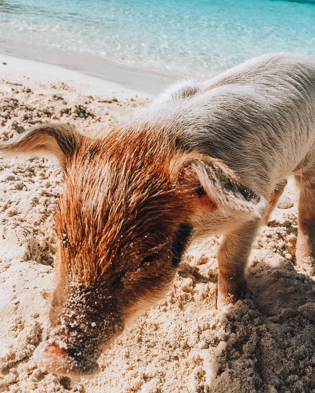 maialino su spiaggia tropicale