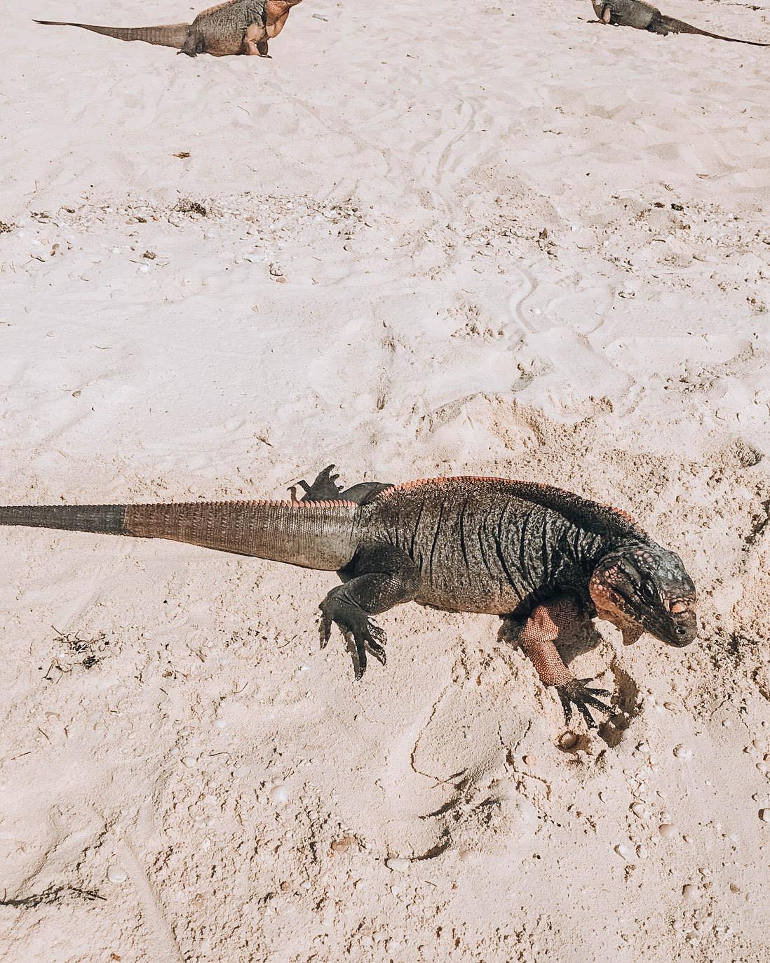 iguana su spiaggia tropicale