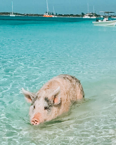 maiale che nuota